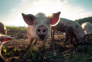 "The Pork Predicament, or How to Embrace ""Year of the Pig"" as Jews"
